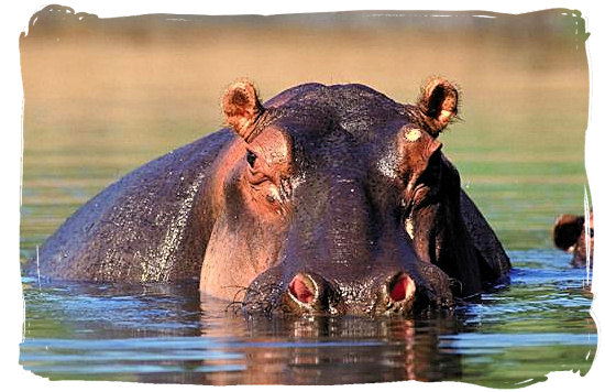 This Hippo is keeping its eye on you - Bateleur Camp, Place of the Bateleur Eagle, Kruger National Park