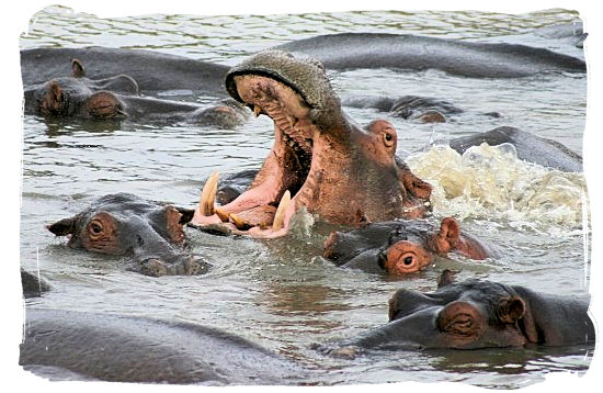 There are plenty of Hippos in the iSimangaliso Wetland Park - Heritage Sites in South Africa, Nature Reserves of South Africa