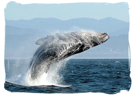 Humpback Whale breaching - The Addo Elephant National Park, National Parks in South Africa