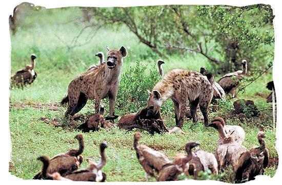 Hyenas and Vultures - Biyamiti bushveld camp