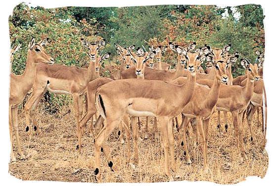 Herd of Impala - Shingwedzi Rest Camp, Kruger National Park, South Africa