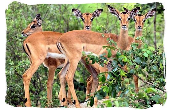 The ubiquitous Impala - Shimuwini bushveld camp, Kruger National Park