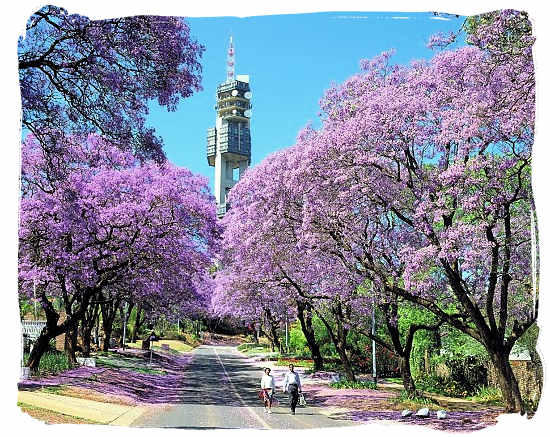 Flowering Jacaranda trees in Pretoria - South Africa Weather, Climate and Weather in South Africa