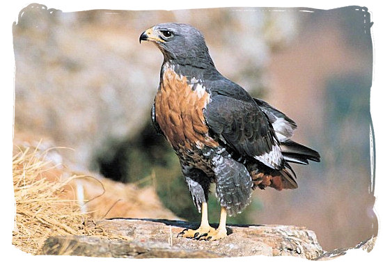 The Jackal Buzzard - Marakele Park in South Africa