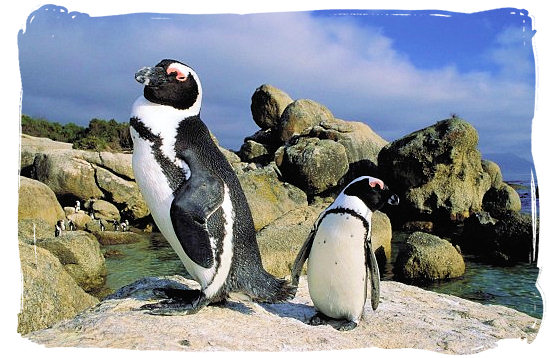 Pair of Jackass penguins loitering around Boulders beach - Cape Town holiday attractions, Table Mountain National Park