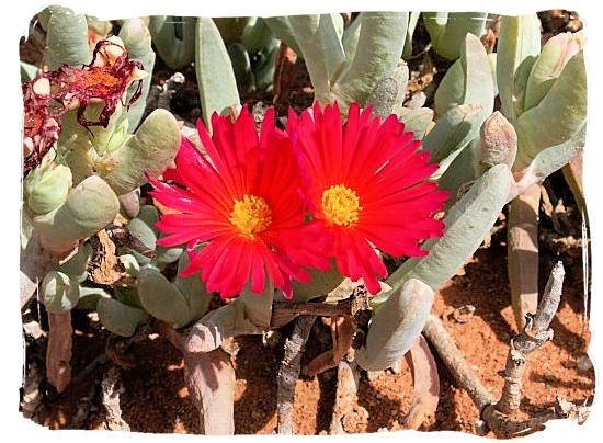 Flowertime in the Tankwa Karoo is from august to october after the first rain - Tankwa Karoo National Park, National Parks in South Africa