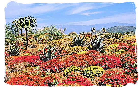 Carpet of flowers in the Great Karoo after a good rainfall - Karoo Accommodation, Karoo National Park South Africa