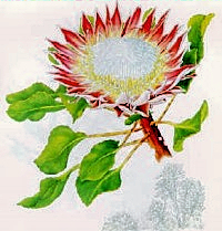 The King Protea