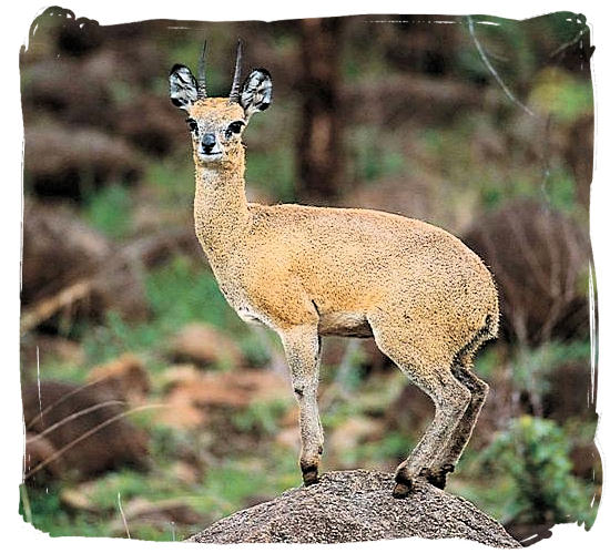 The rare Klipspringer, one of the smallest of the antelope species.