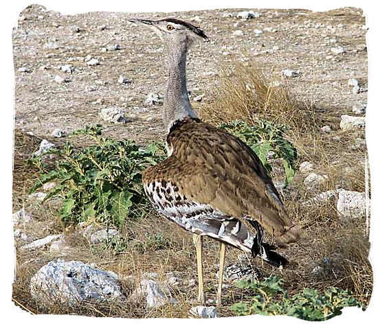 The Kori Bustard - Kgalagadi Transfrontier National Park in South Africa