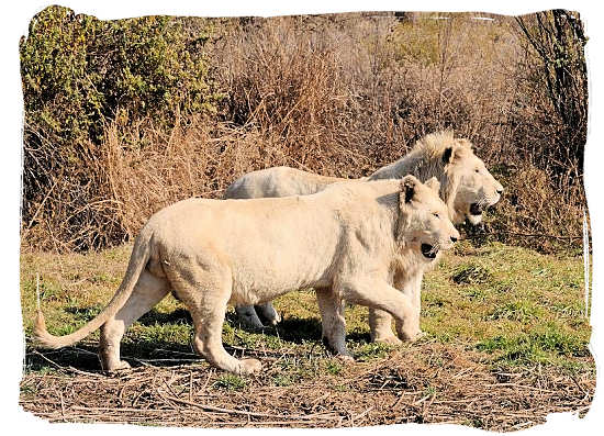 A pair of the extremely rare white lions in the Krugersdorp Game Reserve - City of Johannesburg South Africa Attractions, the Top 15<br>Photograph by John Karwoski