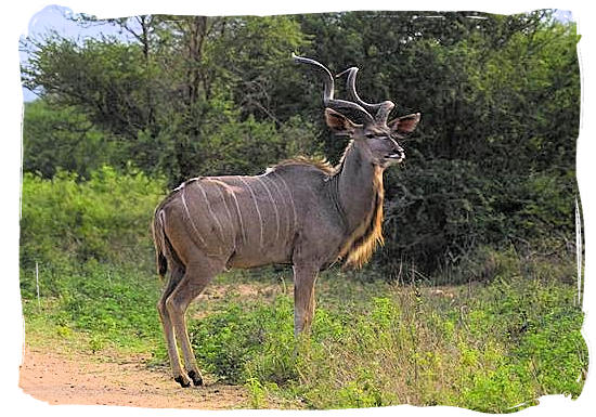 Kudu bull near Punda Maria rest camp