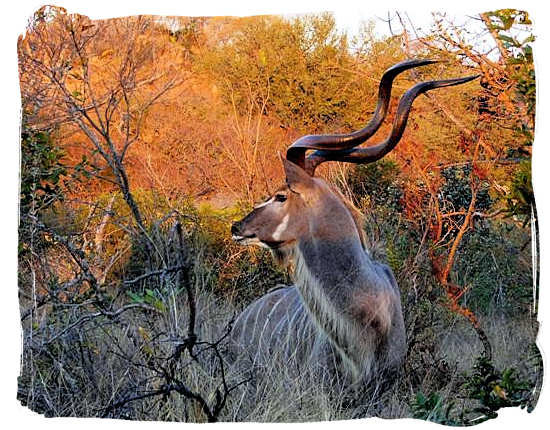 Magnificent Kudu bull - Bateleur Camp, Place of the Bateleur Eagle, Kruger National Park