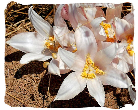 The Kukumakranka (Gethyllis), a beautiful and well known plant species in the park - West Coast National Park vegetation, South Africa National Parks