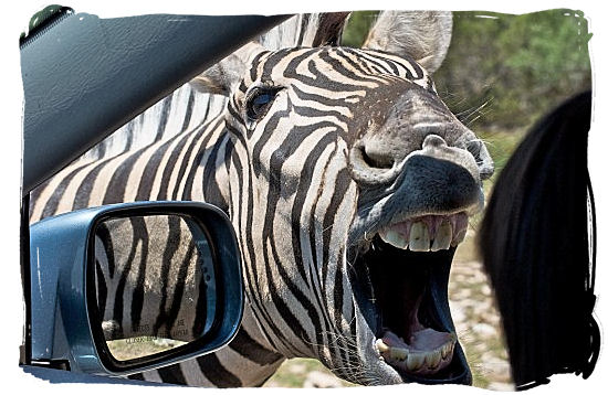 Meeting eye to eye with a Zebra