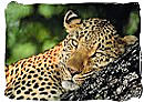 The Leopard, a member of the Big Five