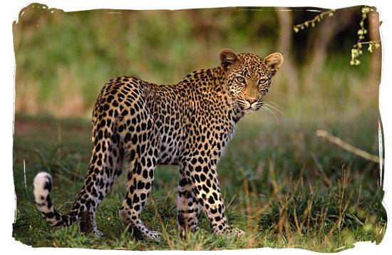 Leopard - Boulders Bush Lodge, Kruger National Park, South Africa