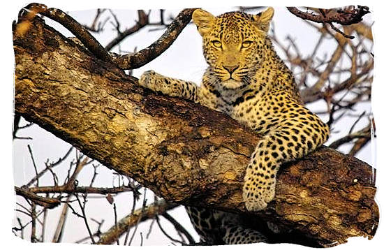 leopard-in-tree-am-sirheni.jpg