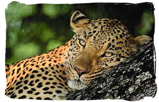 Leopard relaxing on a tree branch - Bateleur Camp, Place of the Bateleur Eagle, Kruger National Park