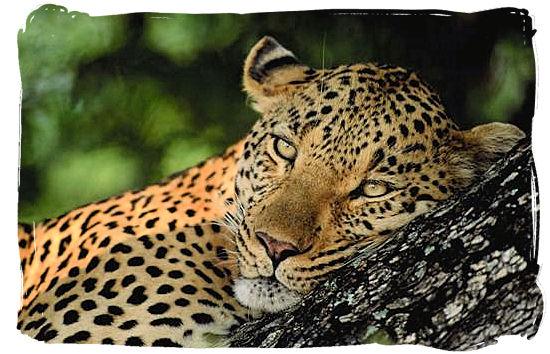 Leopard relaxing on a tree branch - Bateleur Camp, Place of the Bateleur Eagle, Kruger National Park