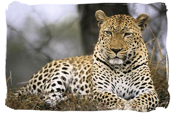 Leopard's gaze - Orpen rest camp in the Kruger National Park, South Africa