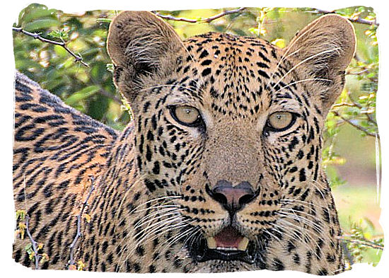 This Leopard with its intense look does not look all that happy