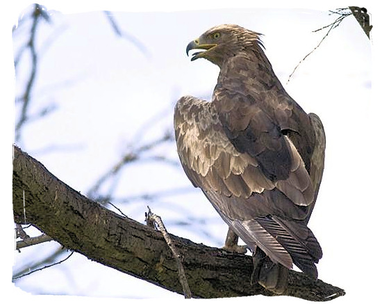 Lesser Spotted Eagle (Aquila pomarina), one of the 400 bird species - Mapungubwe National Park, cultural landscape, region, ruins