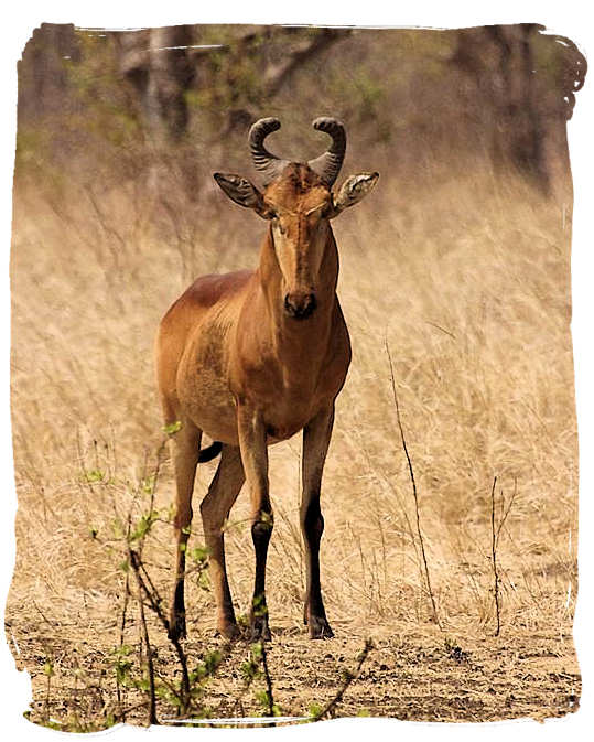 The rare Lichtenstein's Hartebeest - Sirheni Bushveld Camp, Kruger National Park Safari, South Africa