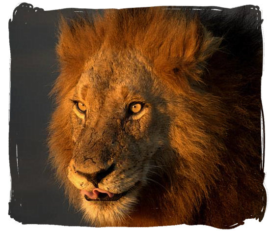 Portrait of the King of animals - Kruger National Park wildlife