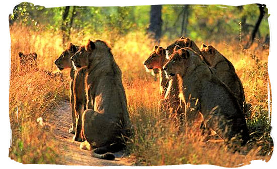 Pride of Lions on the hunt - Tsendze Camping site, Kruger National Park, South Africa