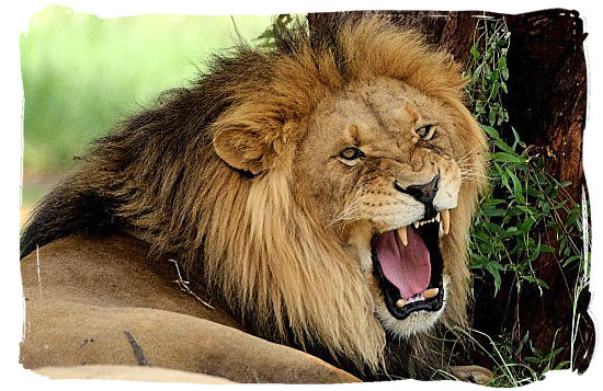 A Lion male, certainly not the friendliest one around - Marakele National Park in South Africa