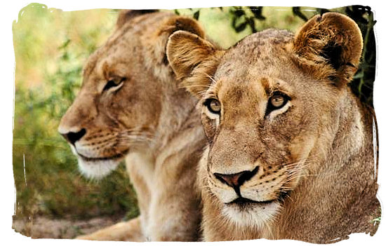 Lionesses in the Kruger National Park - Mopani rest camp