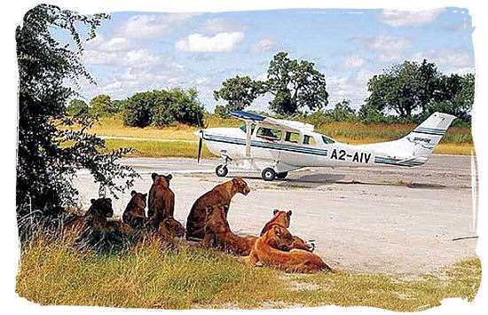 Pride of Lions as reception committee at an airstrip in the bushveld