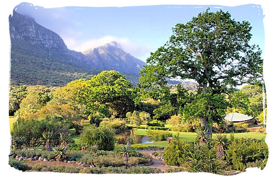 Beautiful Kirstenbosch landscape at the foot of the eastern slope of table Mountain - Kirstenbosch Botanical Gardens, Home to Stunning Protea flowers