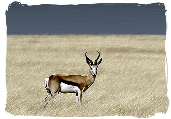 A lonely Springbok, one of South Africa's national symbols