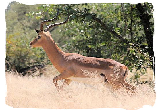 Male Impala on the run in the Mapungubwe Park