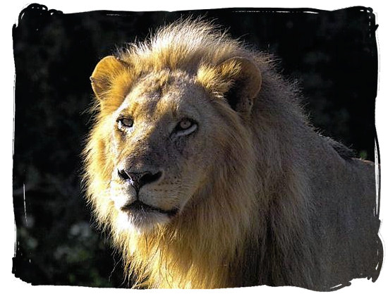 His majesty King Lion - Satara Rest Camp in the Kruger National Park South Africa