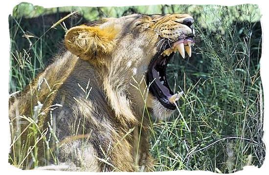 Male Lion - Skukuza Safari, Travel and Accommodation