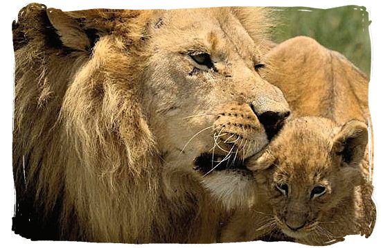 Daddy Lion comforting its youngster