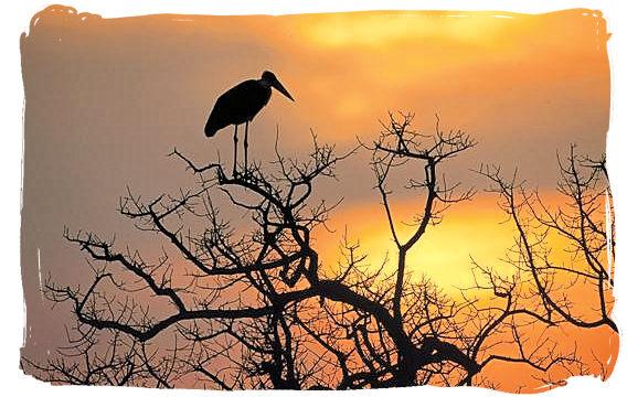 Silhouetteof a Marabou at sundown - Biyamiti bushveld camp