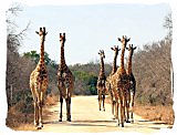 Giraffes in the Marakele National Park