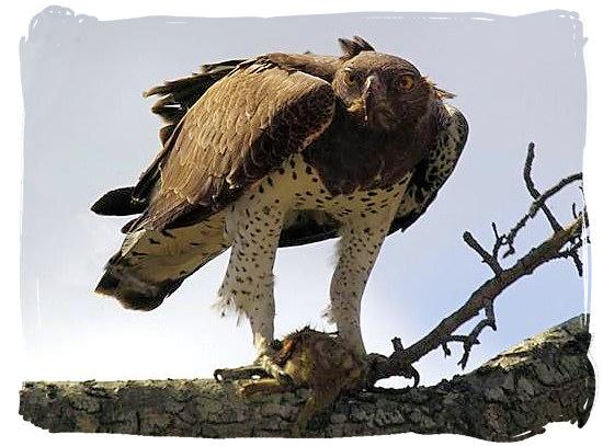 Martial Eagle - Urikaruus Wilderness Camp, Kgalagadi Transfrontier Park