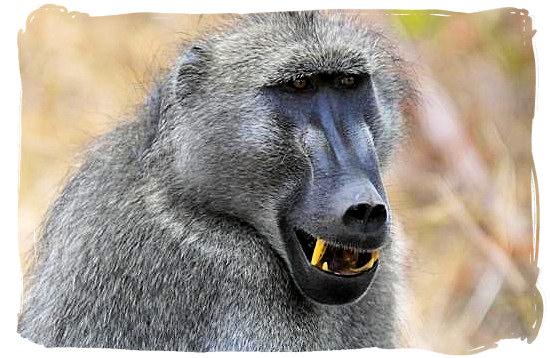 Mature male Baboon - Sirheni Bushveld Camp, Kruger National Park Safari, South Africa