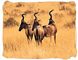 Red Hartebeest antelopes in the Mokala National Park