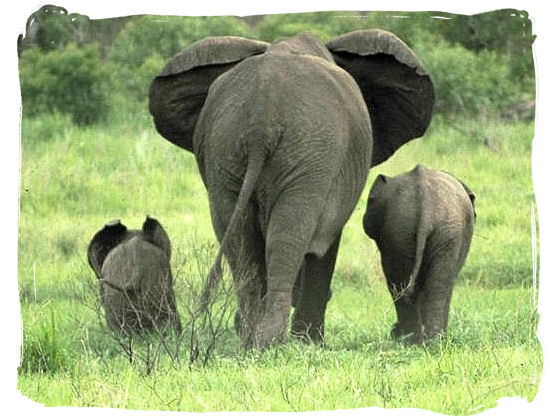 Elephant mom and her kids near the rest camp - Shingwedzi Rest Camp, Kruger National Park, South Africa