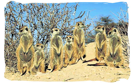 Mongoose family, well adapted to the blazing desert heat