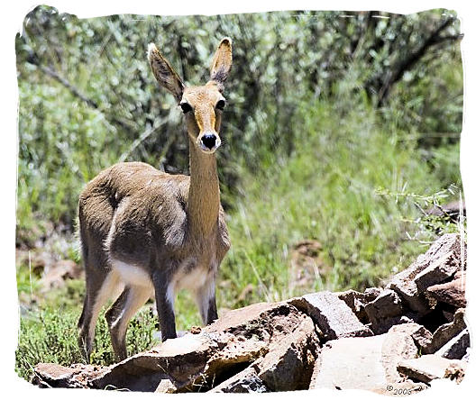 Mountain Reedbuck (Redunca fulvorufula) - Mokala National Park in South Africa, endangered African animals