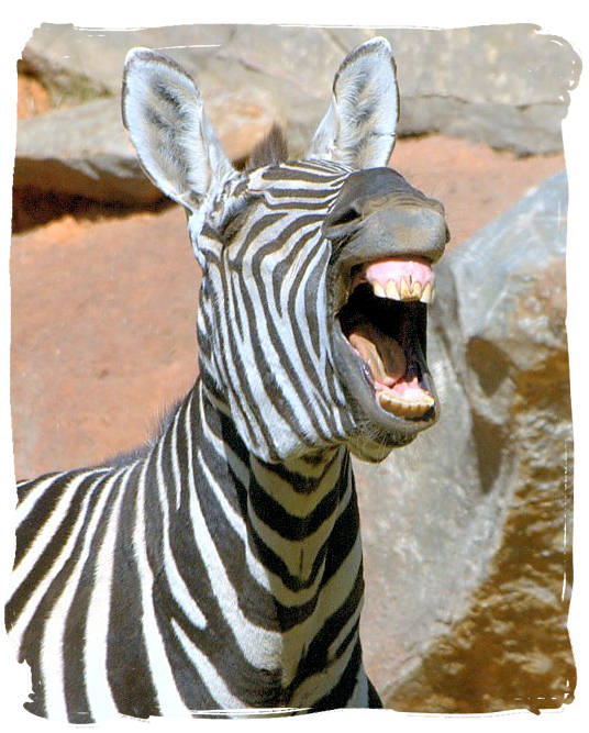 Roaring with laughter - The Cape Mountain Zebra National Park, endangered Mountain Zebras
