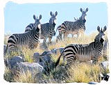 Herd of Mountain Zebras in the Mountain Zebra National Park