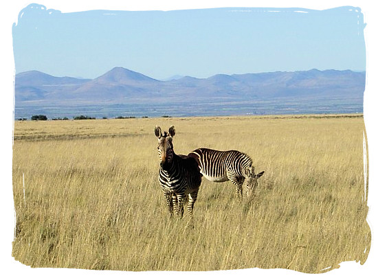 Mountain Zebras on the grassy planes of the MZNP - The Cape Mountain Zebra National Park, endangered Mountain Zebras